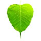 A folha verde de Pho da folha do bothi, BO folheia isolado no fundo branco Fotografia de Stock Royalty Free