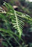 Folha verde de uma floresta tropical australiana Foto de Stock Royalty Free