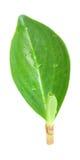 Folha verde delicada Imagem de Stock Royalty Free