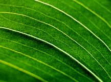 Folha verde do amaryllis Imagem de Stock