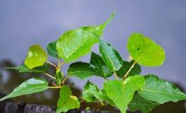 Folha verde do bodhi na passagem da margem Fotografia de Stock