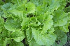 Folha verde do carvalho fotografia de stock