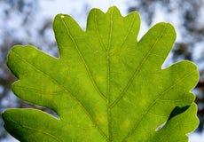 Folha verde do carvalho foto de stock