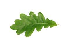 Folha verde do carvalho isolada no fundo branco Fotografia de Stock Royalty Free