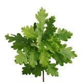 Folha verde do carvalho isolada no fundo branco Imagem de Stock