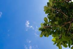 Folha verde do catappa do terminalia no fundo do céu imagens de stock royalty free