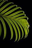 Folha verde do cycas Imagem de Stock