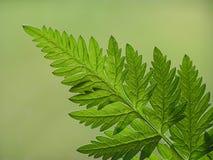 Folha verde do fern imagem de stock royalty free