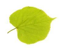 Folha verde do linden Imagens de Stock