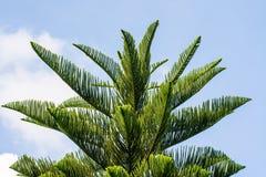 Folha verde do pinho Foto de Stock