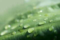 Folha verde do taro com chuva Imagens de Stock Royalty Free