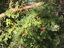 Folha verde dos rosehips das bagas de Bush Imagem de Stock Royalty Free