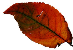 Folha verde e alaranjada - macro fotografia de stock