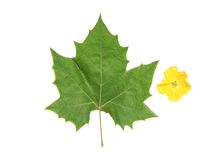 Folha verde e flor amarela fotografia de stock royalty free