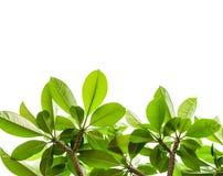 Folha verde e fundo isolado Foto de Stock Royalty Free