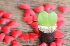 A folha verde e o coração vermelho dão forma no potenciômetro de flor Fotos de Stock Royalty Free