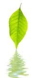 Folha verde e sua reflexão Imagem de Stock