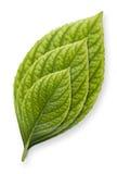 Folha verde em estágios do crescimento foto de stock
