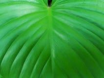 Folha verde fechado-acima Fotos de Stock Royalty Free