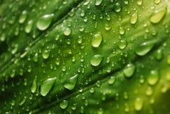Folha verde fresca Fotos de Stock