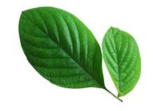 Folha verde fresca Imagem de Stock