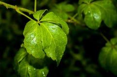 Folha verde fresca com gotas da água imagem de stock