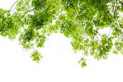 Folha verde fresca com o fundo branco, isolado Imagem de Stock