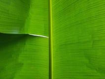 Folha verde fresca da banana Foto de Stock