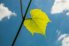 Folha verde fresca da videira Fotos de Stock
