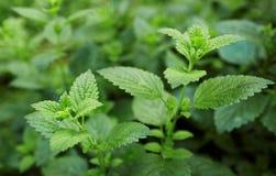 Folha verde fresca do melissa sobre o branco imagens de stock royalty free