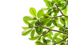 Folha verde fresca, isolada Fotos de Stock Royalty Free