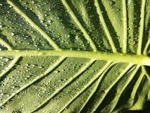 Folha verde, gotas da chuva, água Imagem de Stock