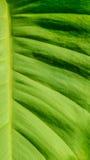 Folha verde grande Imagem de Stock Royalty Free