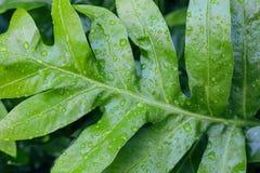 Folha verde grande com as gotas de orvalho na floresta úmida da selva imagens de stock royalty free