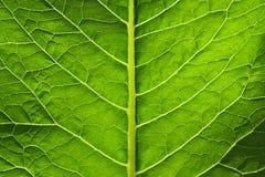 Folha verde grande de uma planta Imagens de Stock