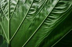 Folha verde grande do alocasia no close-up Fotos de Stock
