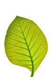 Folha verde isolada Fotos de Stock