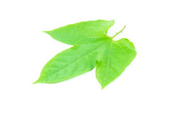 Folha verde isolada Foto de Stock