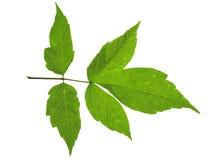 Folha verde isolada Imagem de Stock