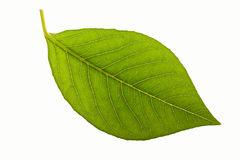 Folha verde isolada no branco Fotografia de Stock