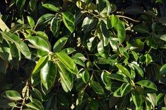 A folha verde lisa grande do figo de borracha, benjamina do ficus, ficus imagens de stock royalty free