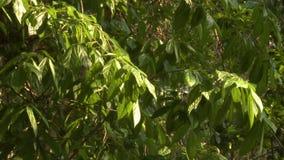 Folha verde luxúria em uma reserva da floresta, Myanmar vídeos de arquivo