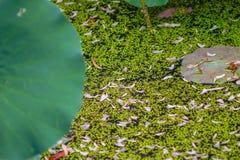 Folha verde minúscula na água com uma folha da flor do locus Imagem de Stock