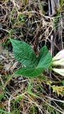 Folha verde na grama Imagens de Stock