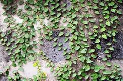 Folha verde na parede Fotos de Stock Royalty Free