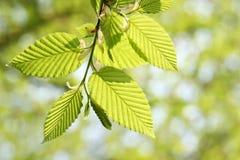 Folha verde na primavera Foto de Stock Royalty Free