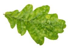 Folha verde natural do carvalho isolada no branco Fotografia de Stock