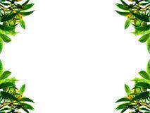 Folha verde no branco Imagens de Stock