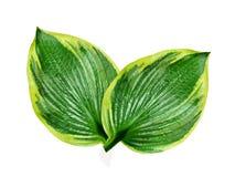Folha verde no fundo branco Fotos de Stock Royalty Free