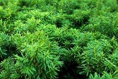 Folha verde no fundo verde, no fundo verde da folha, no verão ou na estação de mola juniper imagem de stock